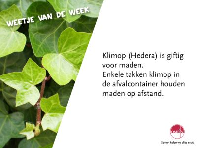 Hedera -klimop weet…